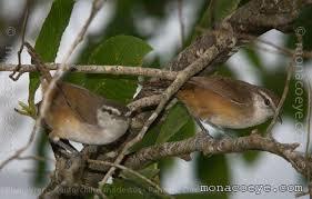 Pair of wrens