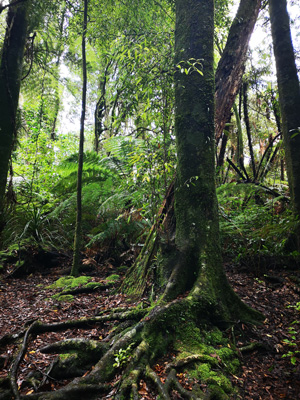 Puketoki Forest Reserve New Zealand tree trunk and roots