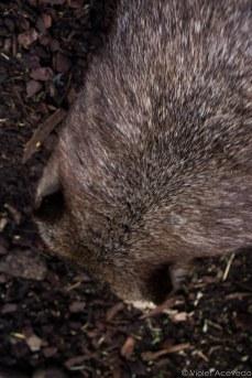 The Australian wombat. © Violet Acevedo