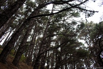 The pines shelter us from the grey sky on the way to the top of Mt Victoria. © Violet Acevedo