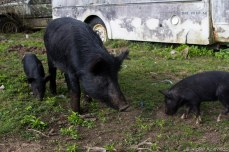 A mother gathers her piglets. © Violet Acevedo
