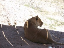 out of africa, arizona, preserve, lion