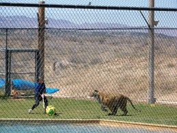 out of africa, arizona, preserve, tiger