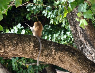 Thailand, Monkey