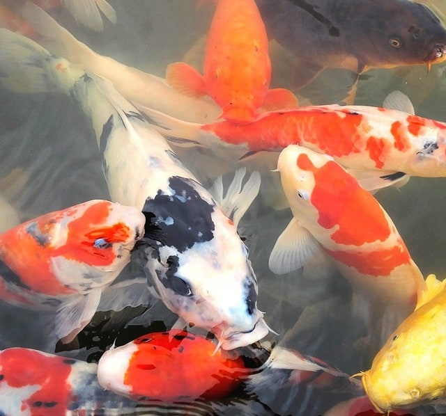 why are my koi
