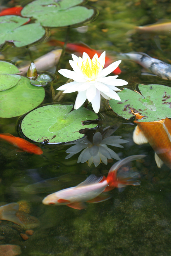 Pond Fish  POND VIDEOS