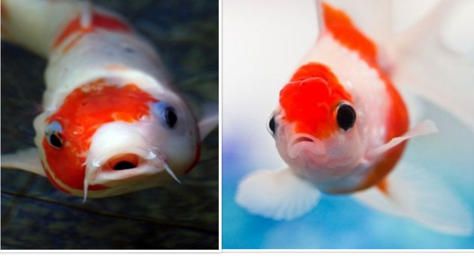 Will Koi Eat Goldfish and Other Smaller Fish? – Answered