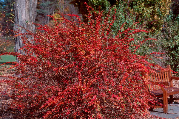 red leaf barberry - ponseti landscaping
