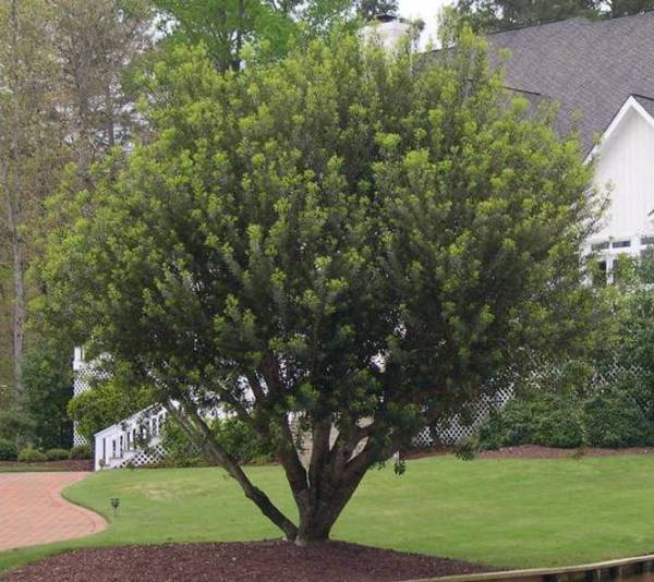 wax myrtle - ponseti landscaping