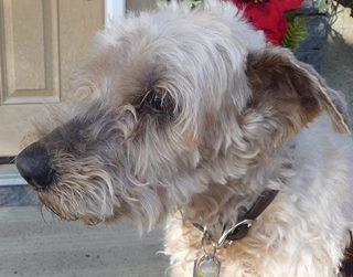 Amis - The Wheaten Terrier - Gone but never forgotten.