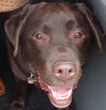 Charlie - a chocolate Labrador who likes everyone and everything...especially snow...!!