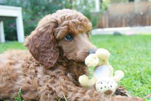 Toy_Poodle_5376453
