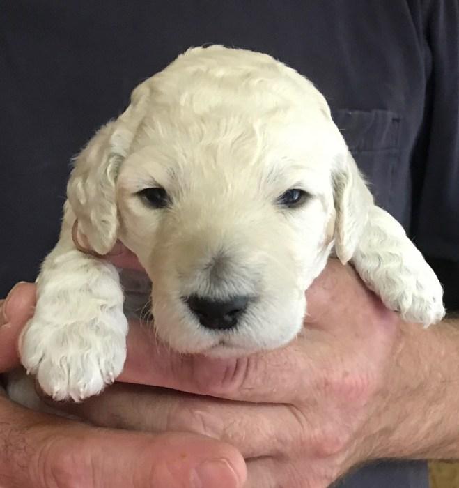 white standard poodlet