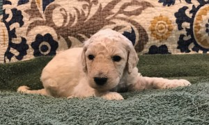 Thyme - White Standard Poodle