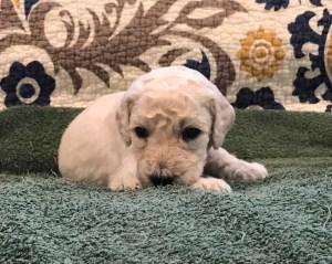 Sesame - White Standard Poodle