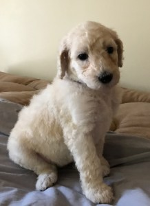 Poppy - White Standard Poodle