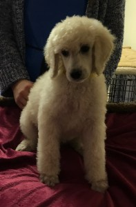 Parsley - White Standard Poodle