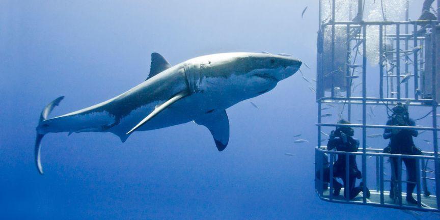 Bilderesultat for shark cage