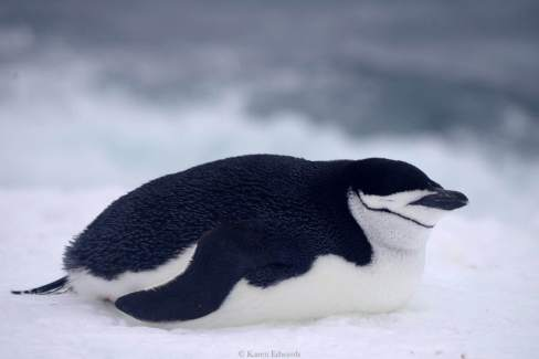 Chinstrap, having a snooze © Karen Edwards