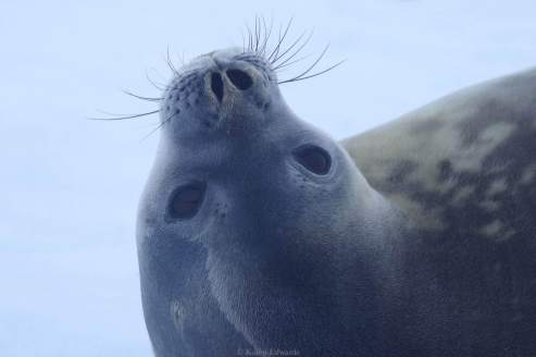A Weddell seal © Karen Edwards