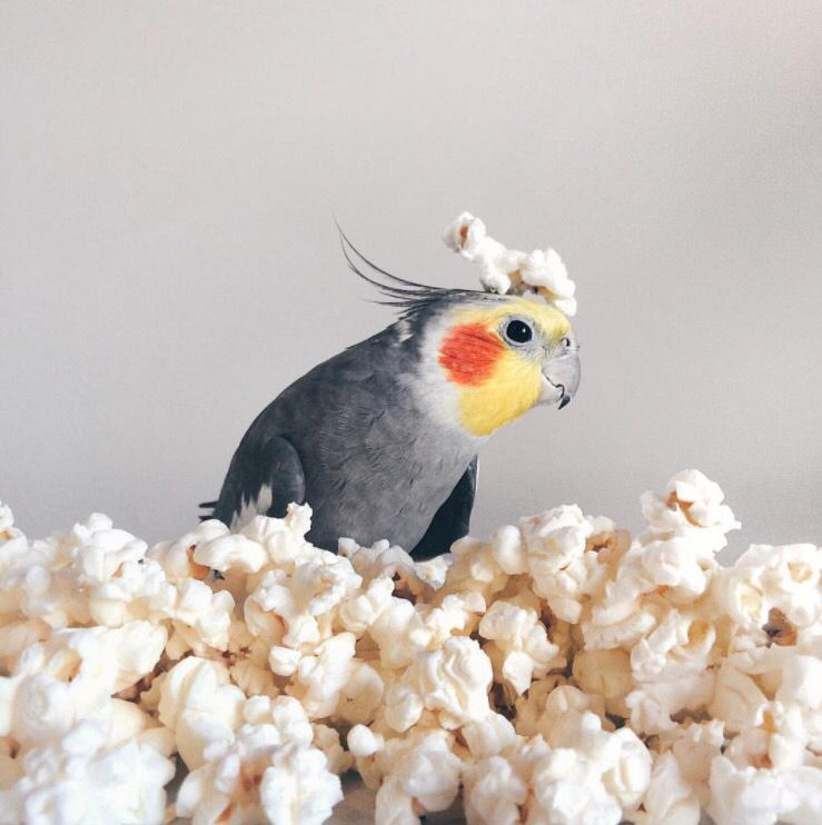 Can Birds Eat Popcorn