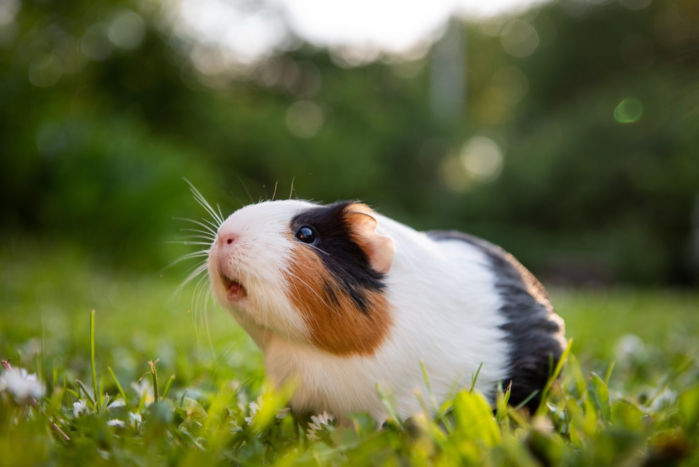 Can guinea pigs eat popcorn?