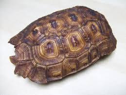 like...you guessed it...an actul tortoiseshell!