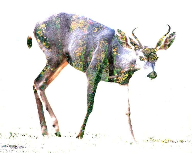 TAMMY deer_CH6