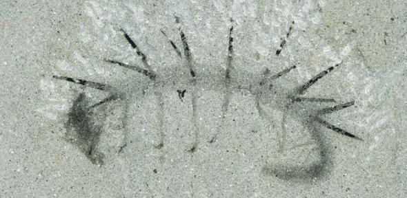 Hallucigenia Sparas Fossil