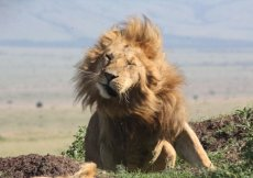 lion shaking off flies in Kenya