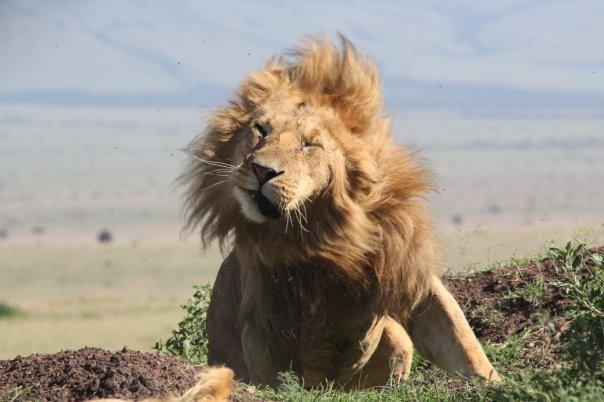 lion shaking off flies in Kenya