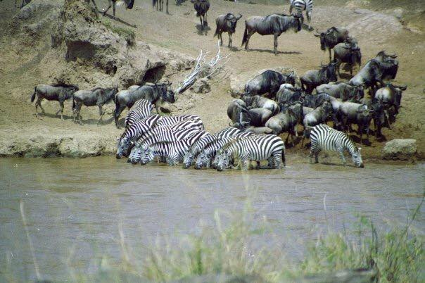A small heard of Zebra drinking from the Mara river with crocodiles watching in.
