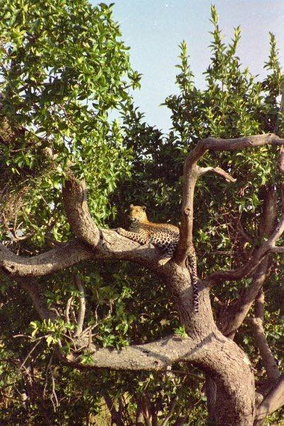 A leopard lazing in a tree in Kenya
