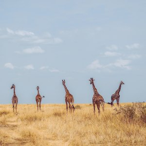 giraffes grazing on the African savant