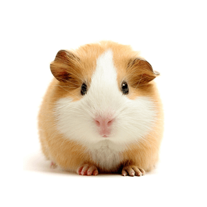 Image result for hamster bert
