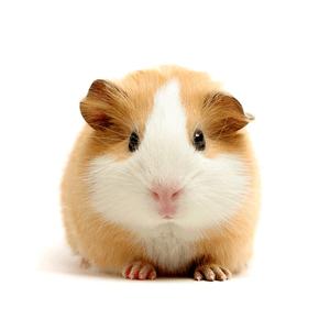 Image result for hamster bert