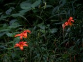 Tiger lilies.
