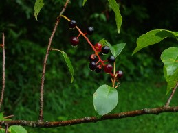 Had a few wild cherries for a snack. Still rain drops on them.