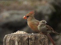 Northern Cardinal and House Sparrow