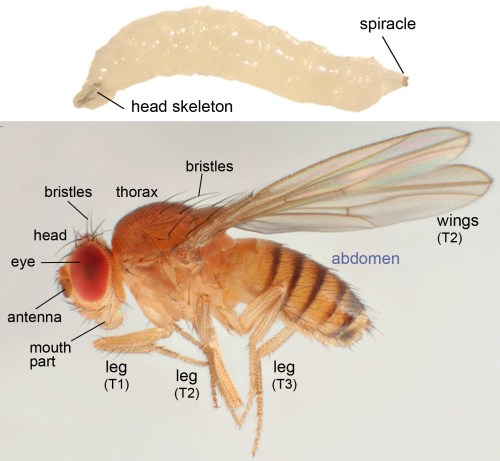 small resolution of image sources sekelsky lab discover life by malcolm storey