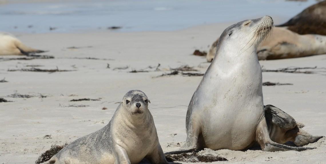 Seals at Seal Bay, Kangaroo Island