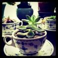 teacupsucculent