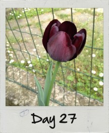 Finalmente sono fioriti anche i miei tulipani neri