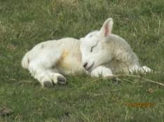 Lamb at peace