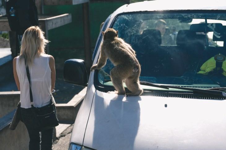 taka tam małpa na samochodzie