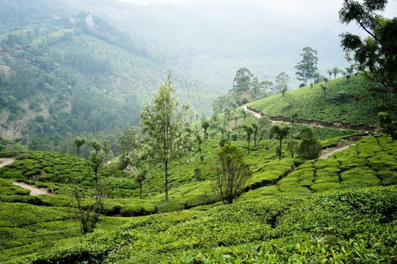 pola herbaciane Munnar, Kerala, Indie
