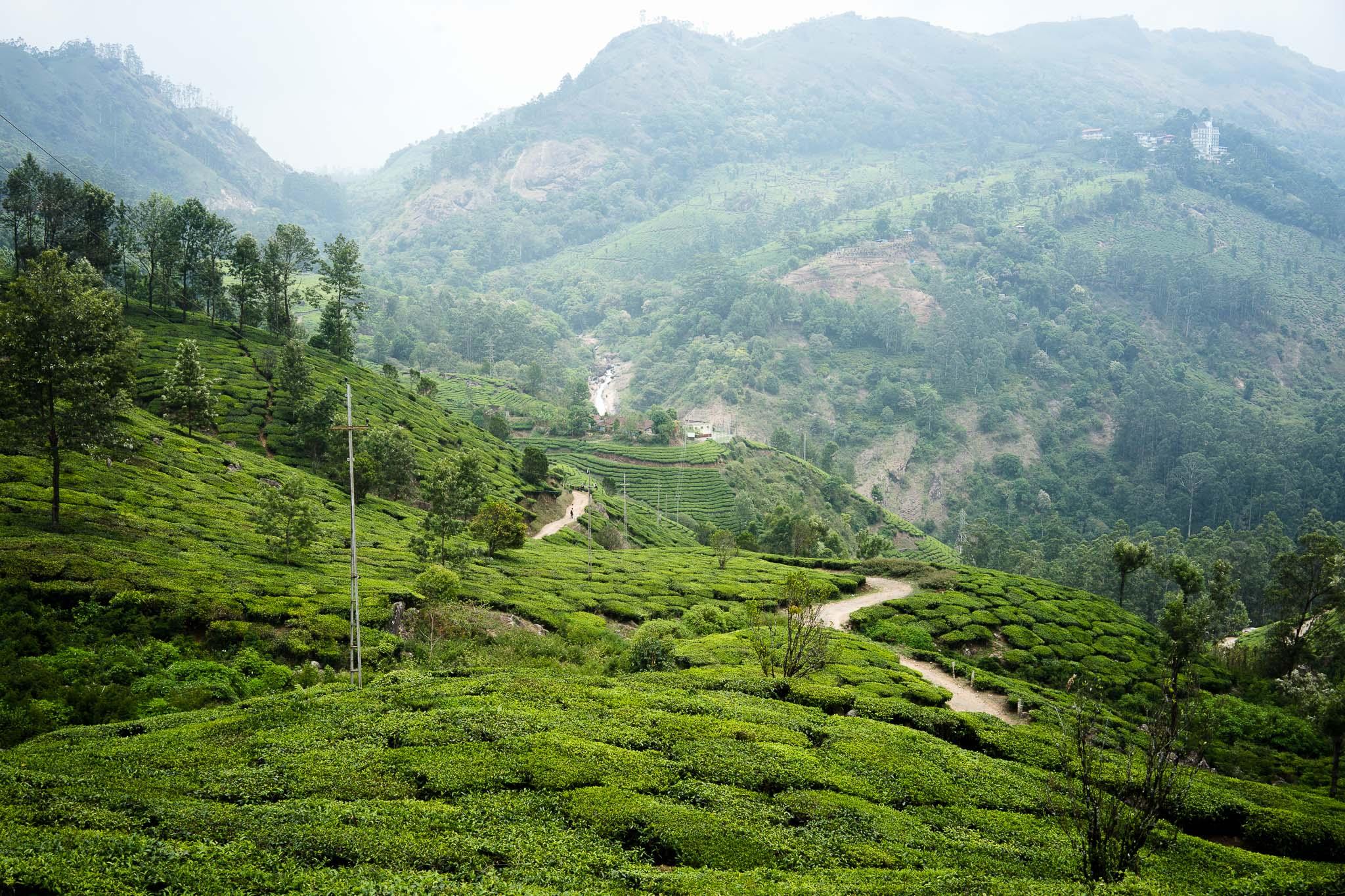 obłędnie soczyste pola herbaciane
