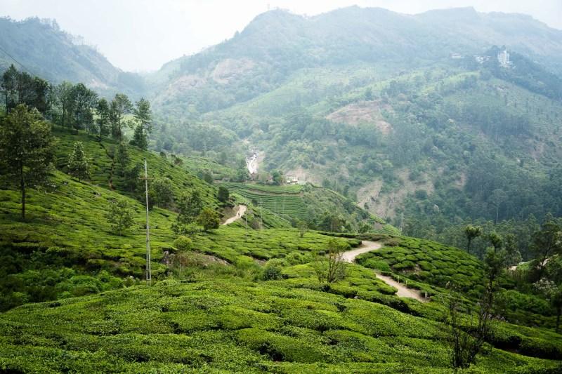 obłędnie soczyste pola herbaciane Munnar