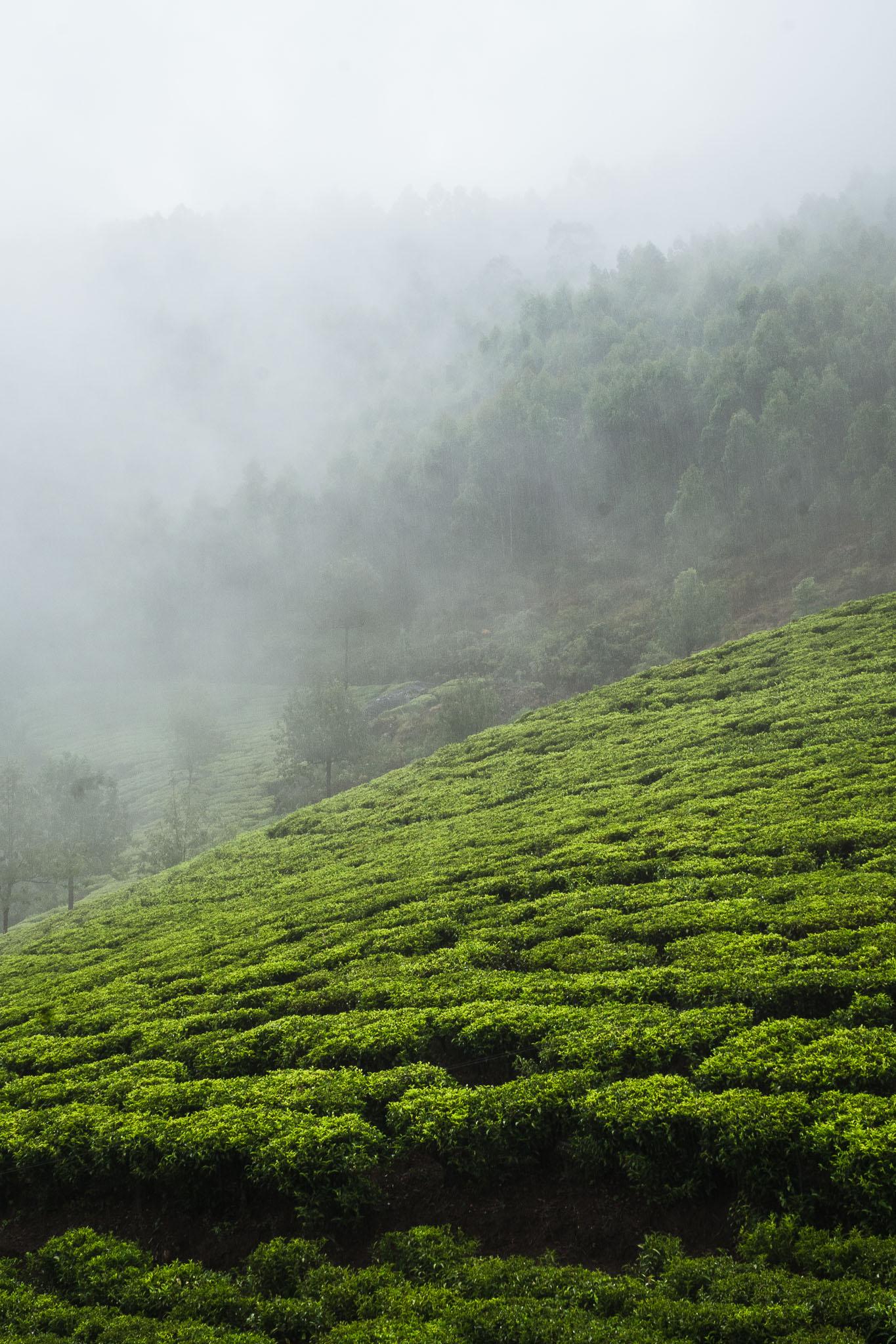 Munnar pola herbaciane, Kerala, Indie