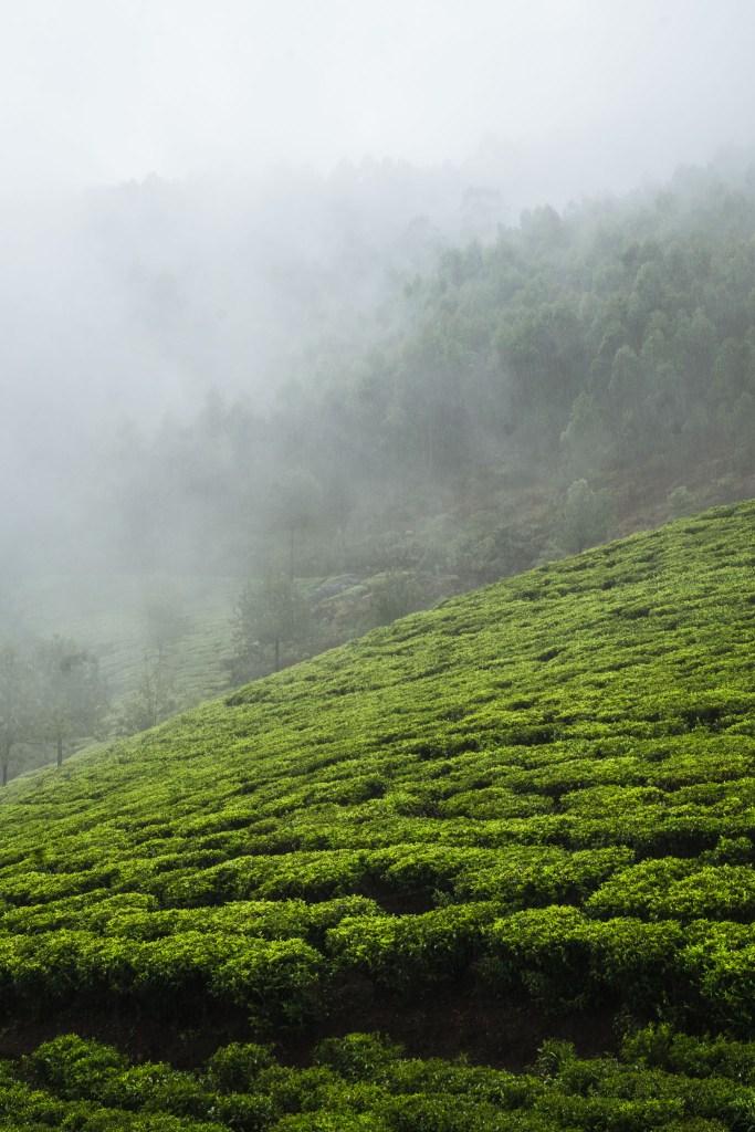 Munnar i to co w jego okolicy najpiękniejsze - ciągnące się tarasy herbacianych pól